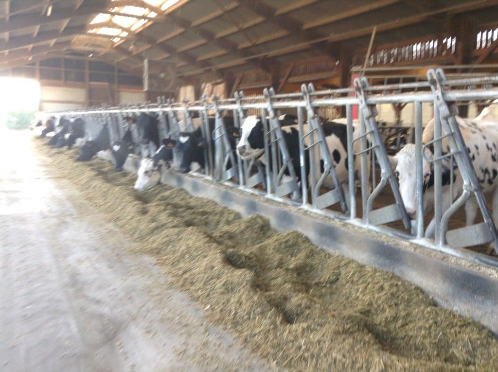 Le Petit Logis Cows