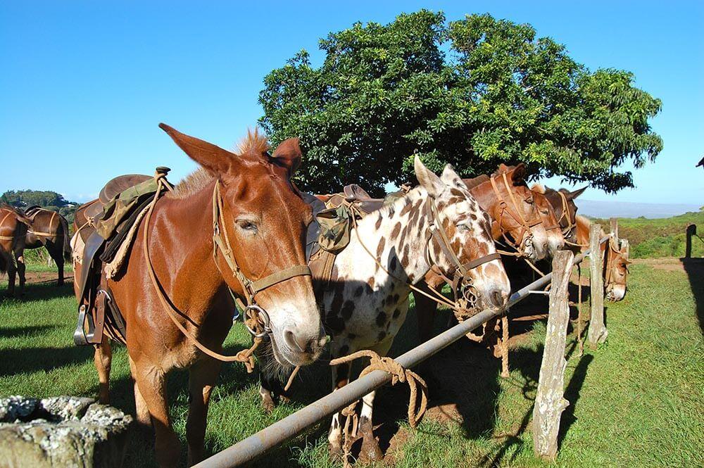 Molokai Leper Colony Molokai Mule Rides